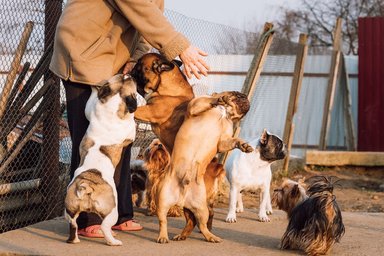 Many Different Dogs Having Fun With Woman Mistress. French Bulldog Dogs And Yorkshire Terrier Play Together In Yard. Different Dogs Fun Woman Mistress French Bulldog Bulldog Yorkshire Standing Terrier Play Together Dog Pets