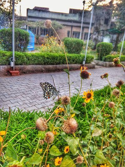 GrowthButterfly