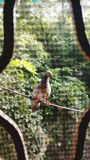 Animal Themes Bird One Animal Sunlight Nature Trees Beautiful Live For The Story EyeEm Nature TheWeek On EyEem EyeEmNewHere TheWeekOnEyeEM Beauty In Nature Pegion Pigeon Pose