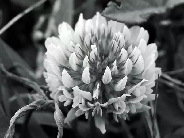 路邊蒲公英的花朵。 Black&white Flower Taking Photos