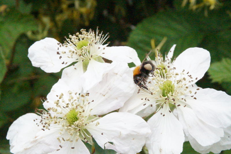 Bee Close-up Flower Flower Head Fragility Freshness In Bloom Insect Nature No People Our Precious Bees Our Precious Bees🐝🐝🐝🐝🐝🐝 Petal Plant Pollen Pollination Selective Focus Stamen White White Color