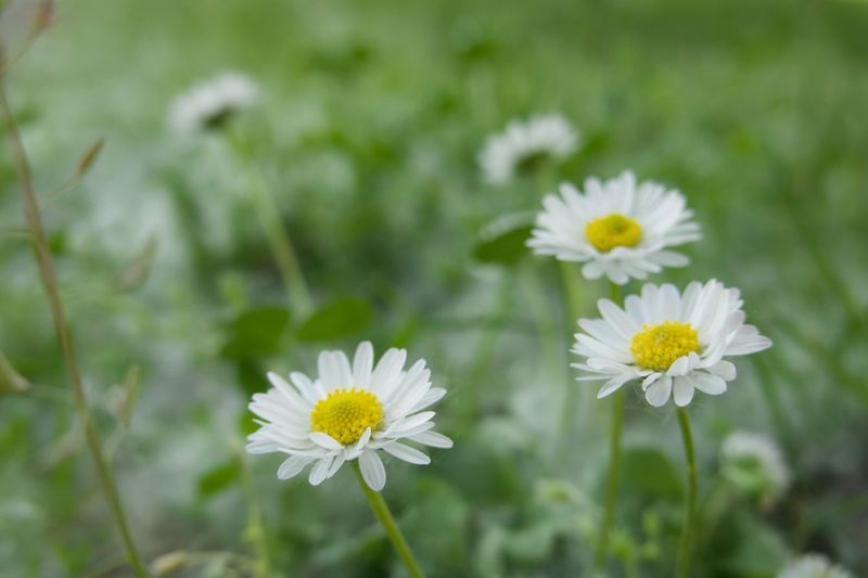 Flower Flowering Plant Freshness Plant Fragility Beauty In Nature Vulnerability  Growth Focus On Foreground Nature Yellow White Color Inflorescence Day Flower Head Close-up No People Daisy Botany Petal