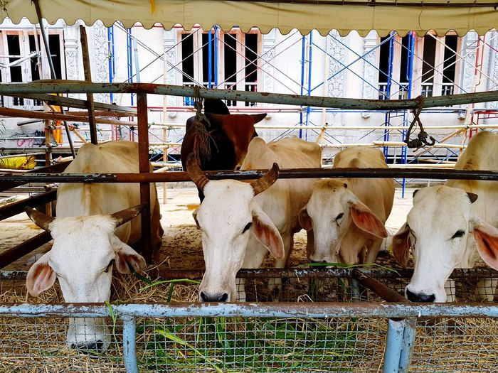 Many white cow eating green grass Pets Mammal Domestic Animals Animal Animal Themes Domestic Livestock Group Of Animals Vertebrate Animal Wildlife Fence Boundary Barrier Built Structure Herbivorous Architecture Cattle Animal Pen Outdoors Ranch Corral Farm Cow Grass Eating