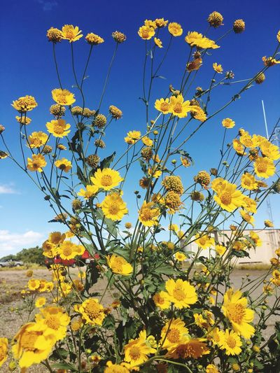New Mexico wild yellow Paint The Town Yellow