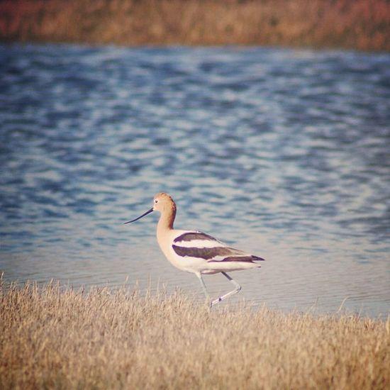 Pinocchio Bird (jk) :) #jj #jj_forum #instaaaaah #igla #the_guild #primeshots #awesome_shots #instagroove #nature #bird #photograph #all_shots #picoftheday #gf_daily #instagood #igers #igersnebraska #sandhills #curlew #statigram #wildlife #instagramhub Bird Igla Wildlife Igersnebraska Picoftheday Awesome_shots All_shots Curlew Photograph Instagroove Gf_daily Igers Jj  Instagood Instaaaaah Statigram Instagramhub Jj_forum The_guild Primeshots Nature Sandhills