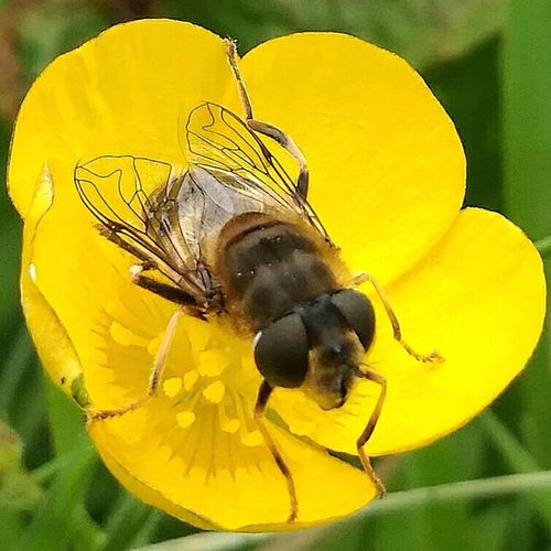 Hoverfly hiding in a buttercup flower Biodiversity Wildlife Macro Nature Wildlife & Nature Nature Photography Nature Wildlife Photography Macrophotography Naturelovers Fauna Fauna And Flora Flies Insect Photography Insects  Bugs Fly Entemology Minibeast Insect Invertebrate Invertebrates
