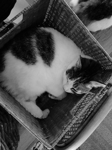Indoors  High Angle View Close-up Indoors  Jazz.* KittyKat Greycat Basket Blackandwhite Photography Sleeping Cat Indoors  Bonding Time Happiness Godrules BBQparty