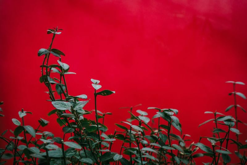 Red Wall - Building Feature No People Plant Close-up Growth Nature Beauty In Nature Outdoors Freshness Red Background Flowering Plant Chinese New Year Wall Celebration Decoration Leaf Plant Part Day Flower