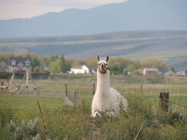 Como Se Llama? Idaho Lava Hot Springs Llama Llama Ho Springs Llama Hot Llama❤ No, You Da Ho