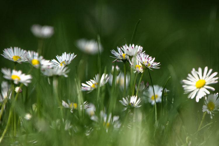 Close-up of daisy flowers on field