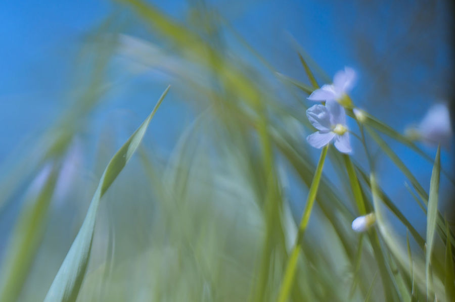 cardamine: gras und himmel Lady's Smock Beauty In Nature Blue Cuckoo Flower Cuckooflower Flower Flowers Freshness Grass Green Color Growing Growth Meadow Meadow Flowers No People Selective Focus Sky Tranquility
