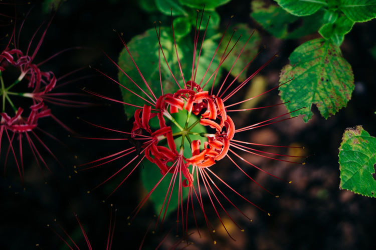 Beauty In Nature Close-up Day Flower Flower Head Flowering Plant Focus On Foreground Fragility Freshness Green Color Growth Inflorescence Leaf Nature No People Outdoors Plant Plant Part Pollen Red Vulnerability  EyeEmNewHere
