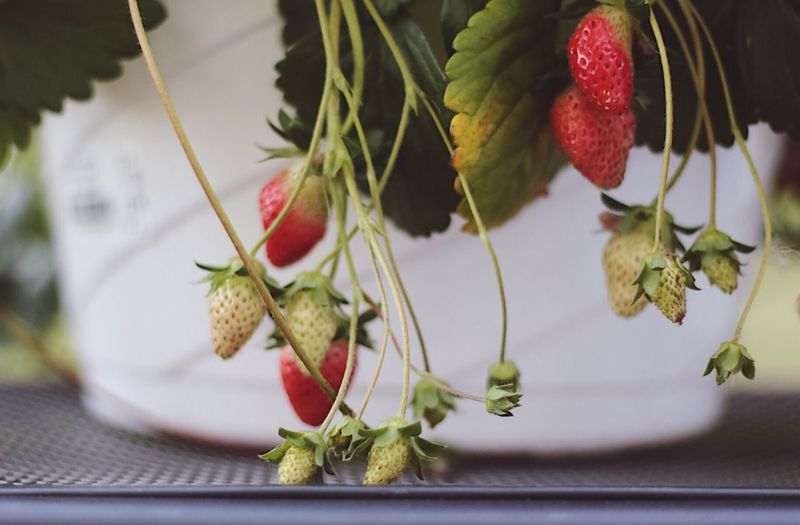 Popular Photos EyeEm Photooftheday EyeEm Nature Lover EyeEm Gallery EyeEm Best Shots Freshness Close-up Food Healthy Eating Plant No People Berry Fruit Red Fruit Flower Strawberry Nature Leaf Plant Part Growth