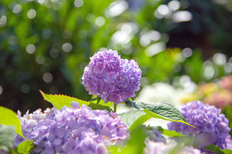 Flower Flowering Plant Plant Vulnerability  Freshness Beauty In Nature Fragility Growth Purple Close-up Selective Focus Nature Day Petal Flower Head Leaf No People Inflorescence Plant Part Botany Outdoors Lilac Hortensia Flower