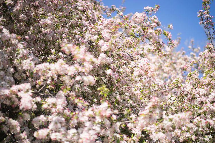 Flowering Tree Abundance Beauty In Nature Blooming Blossom Botany Branch Day Flower Freshness Growth In Bloom Low Angle View Nature No People Outdoors Petal Pink Color Season  Sky Spring Springtime Tree Twig