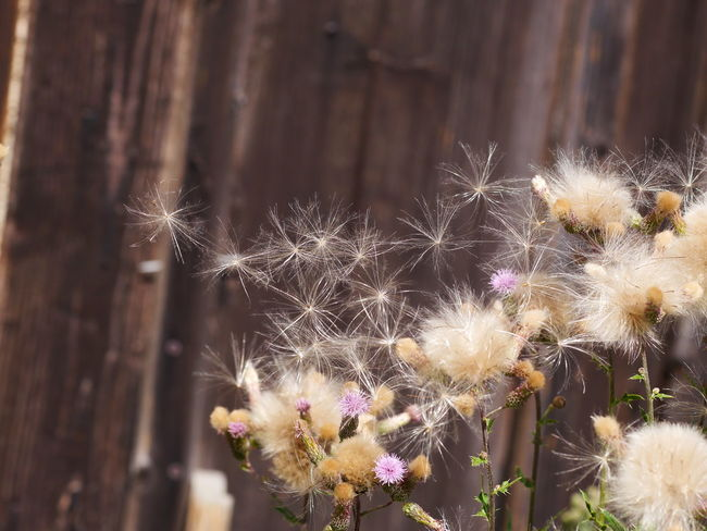 Plant Beauty In Nature Close-up Dandelion Dandelion Seed Day Flower Flower Head Flowering Plant Flowers Focus On Foreground Fragility Freshness Growth Inflorescence Nature No People Outdoors Plant Selective Focus Softness Thistle Thistle Flower Vulnerability  Wood - Material