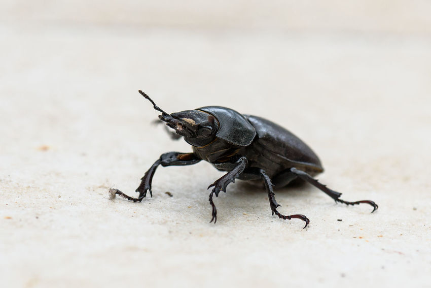Big female stag beetle Lucanus cervus on terrace tiles. Lucanus cervus biggest European beetle and is most common species of stag beetle in Europe. The species are protected and marked as threatened. Bug Home Jaws Macro Photography Stag Beetle Terrace Animal Wildlife Beetle Beetle Insect Nature Black Color Cervus Close-up Female Insect Insects  Invertebrate Lucanus Lucanus Cervus One Animal Saw-tooth Stagbeetle Threatened Threatened Species Tiles