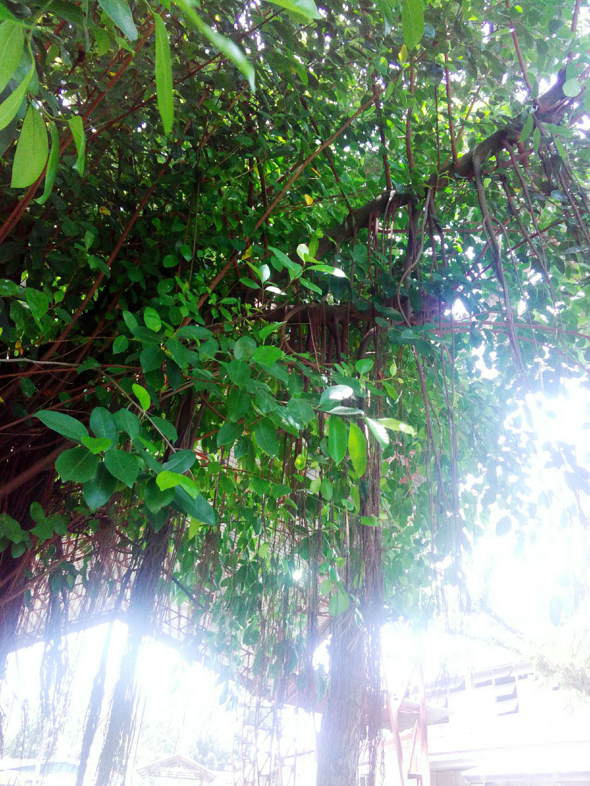 tree, growth, nature, branch, leaf, green color, plant, no people, beauty in nature, day, low angle view, outdoors, forest, foliage, freshness