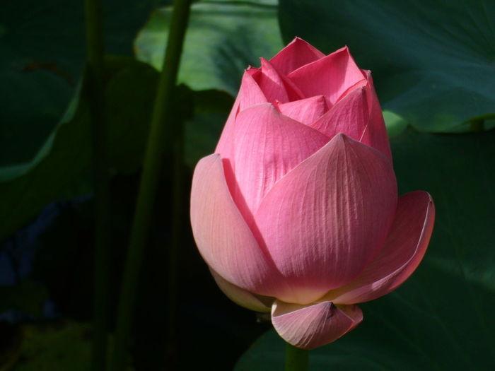 Close-up of pink lotus water lily blooming in lake