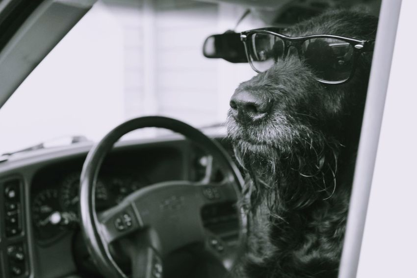 Dog Car Sunglasses Sly Blackandwhite Cool One Animal Indoors  Domestic Animals Animal Themes Mammal Close-up