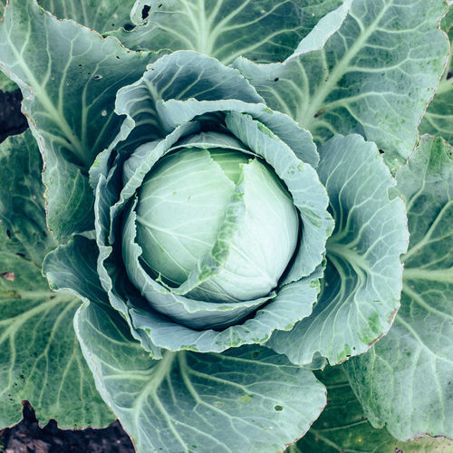 top view cabbage head in the garden with green leaves, harvest season Cabbage Close-up Day Food Food And Drink Freshness Full Frame Garden Green Color Growth Healthy Eating High Angle View Leaf Leaf Vegetable Nature No People Organic Plant Plant Part Top View Vegetable Wellbeing