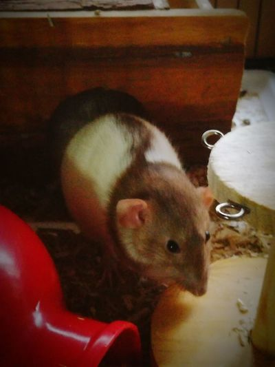 Pets Rats Cute Socute Animal Themes One Animal Indoors  Mammal Domestic Animals Cage No People Day Close-up Indoors  First Eyeem Photo Wood - Material