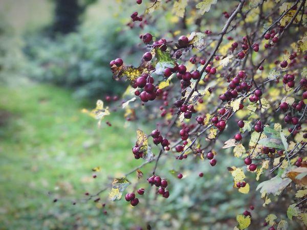 Autumn berries Nature Growth Flower Tree Outdoors Beauty In Nature Berries Garden