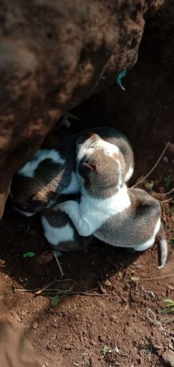 High angle view of puppies relaxing on field