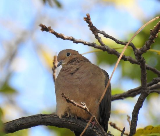 Animals In The Wild Bird Photography Birds Of EyeEm  Dove Love Doves Mourning Doves Nature Nature Photography Animal Wildlife Birds Birds_collection Birds_n_branches Brown Bird Cute Animals Dove Doves, Birds Mourning Dove Ornithology