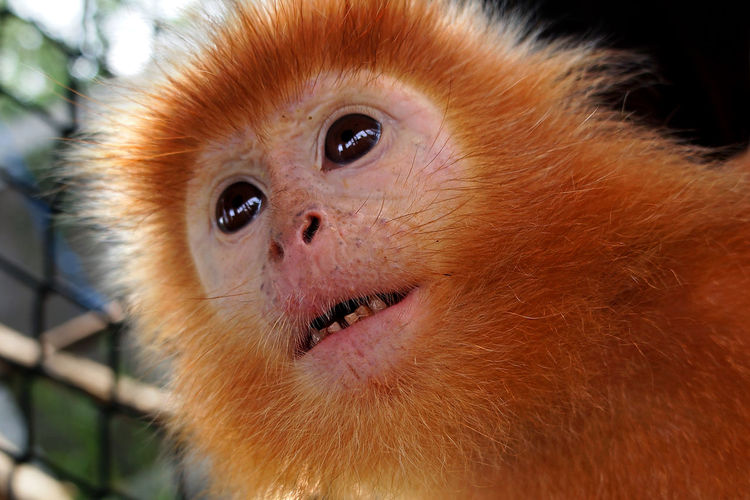 Animal Animal Hair Animal Head  Animal Themes Animal Wildlife Close-up Golden Monkey Looking Monkey Mouth Open No People One Animal Primate