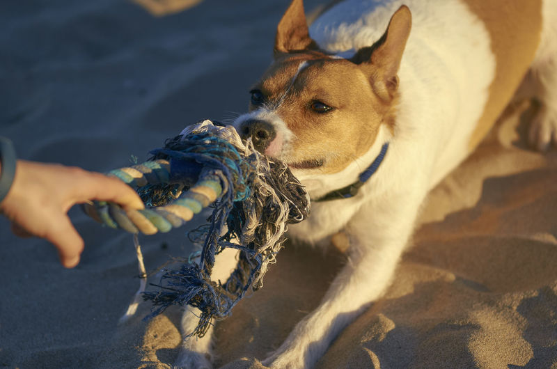 Woman playing with her dogs on a beach. Beach Life Happiness Rope Sunlight Woman Beach Dog Domestic Mammal Pets Play Relax Sand Sunset