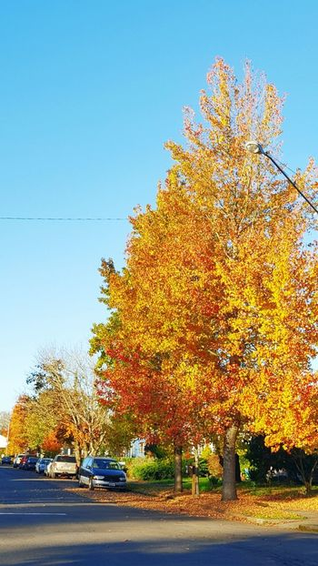 A walk down to the store on a colorful Autumn day. Autumn Landscape Autumn Collection Autumn Leafs Autumn Light Autumn Foliage Blue Sky And Trees Autumn Trees Autumnbeauty Autumn Colours Autumn 2016 Autumn🍁🍁🍁 Autumn leaves Autumn Colors Autumn In The City Tree Street Photography Streetphotography Fallen Leaves Multi Colored Trees Trees Collection Vancouverwashington Vancouver, Washington Vancouver Trees Admiring The View Paint The Town Yellow