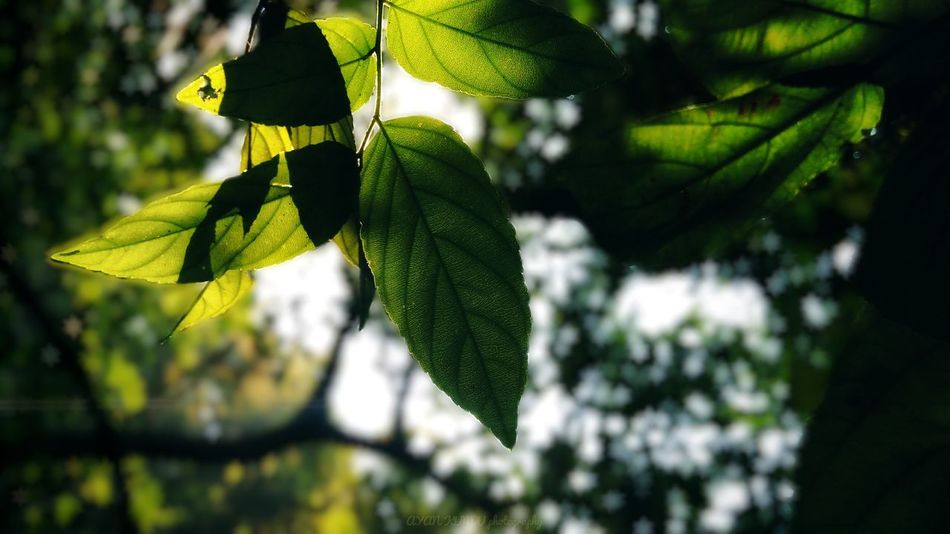 Shiny leaves.... Leaf Green Color Outdoors No People Focus On Foreground Day Nature Plant Growth Freshness Beauty In Nature Tree Fragility Close-up Flower Head