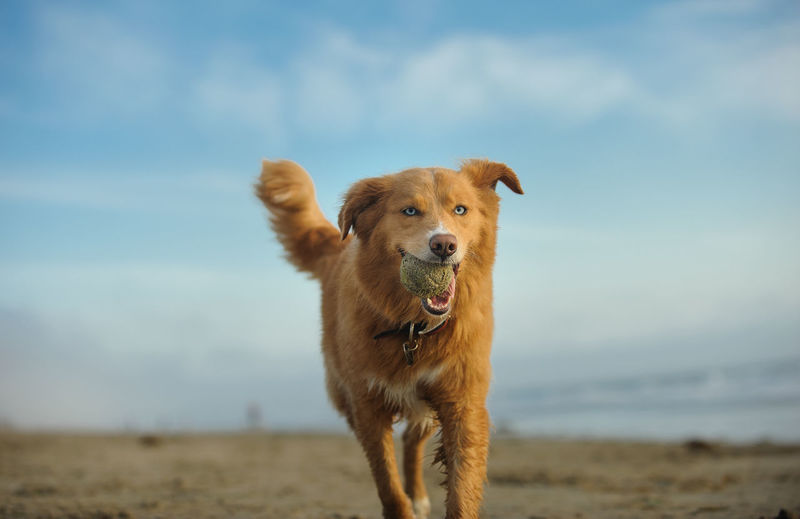 Golden retriever carrying ball in mouth while walking on field against sky