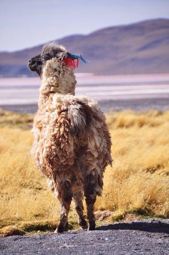 Bolivia Uyuni Alpaca The Great Outdoors - 2016 EyeEm Awards