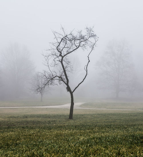 Fogg makes every composition clearer Bare Tree Beauty In Nature Branch Day Fog Grass Isolated Landscape Lone Nature No People Outdoors Simplicity Solitude Tranquility Tree Tree Trunk
