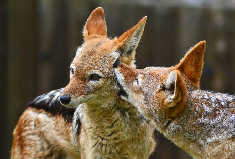 Close-up of jackals standing outdoors