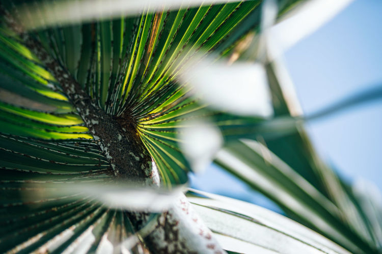 Beautiful low angle view of a tropical palm tree branch. The background is the clear blue sky. Tropical foliage. Clear Sky Beauty In Nature Blue Close-up Day Extreme Close-up Foliage Freshness Green Color Growth Leaf Natural Pattern Nature No People One Animal Outdoors Palm Leaf Palm Tree Pattern Plant Plant Part Selective Focus Sky Tree Tropical Climate