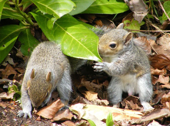 Animal Themes Animals In The Wild Baby Squirrel Baby Squirrels Close-up Day Eating Food Gray Squirrel Gray Squirrels Grey Squirrel Grey Squirrels Leaf Mammal Nature No People Outdoors Squirrel Squirrel Closeup Squirrels