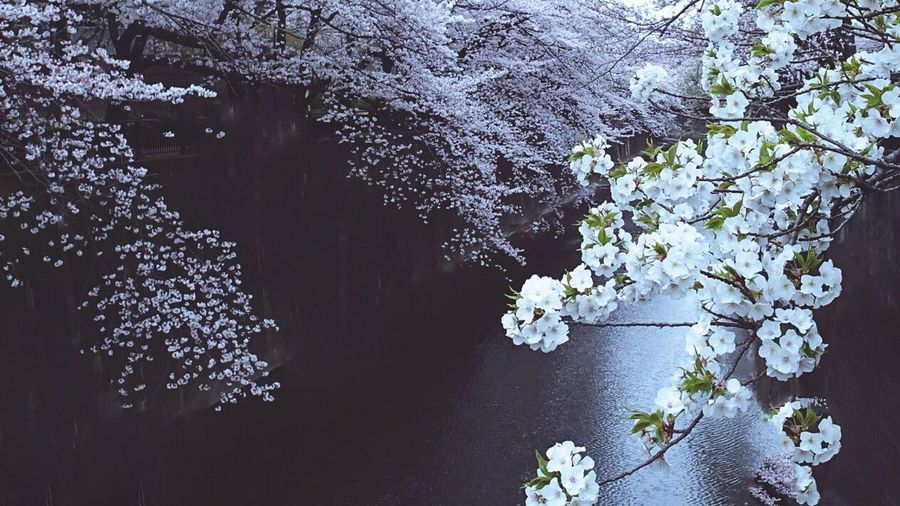 Nature Flower Sakura Japan