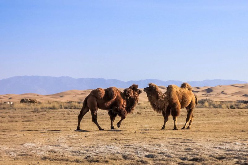 Bactrian camels standing on landscape against clear sky