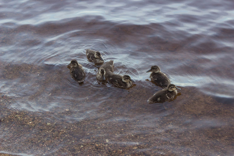 High Angle View Of Ducklings Swimming On Water