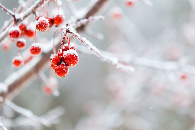 Fruit Healthy Eating Berry Fruit Food And Drink Food Plant Freshness Tree Red Branch Focus On Foreground No People Close-up Winter Beauty In Nature Cold Temperature Frozen Growth Nature Outdoors Ice Ripe Rowanberry Red Currant Cherry Tree