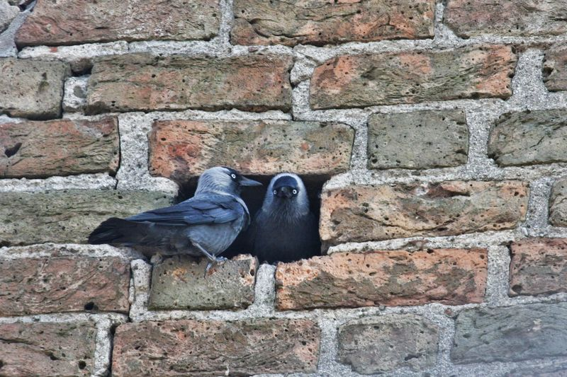 Close-up of pigeons on brick wall