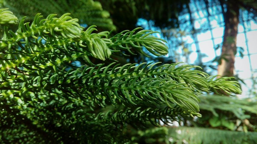 Tree Fern Leaf Frond Close-up Plant Green Color Botany Stamen Pine Cone Pinaceae Pine Woodland Day Lily Pine Tree Plant Life Needle - Plant Part Lush - Description Pistil Pollen