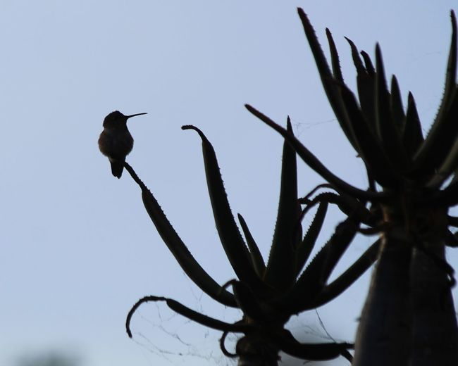 hummingbird Silhouette Hummingbird Cactus Shy Whimsy Cute Delicate Shadow Bird Perching Tree Bird Of Prey Sky Wilderness