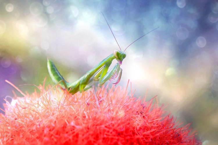Close-up of green praying mantis on red flower