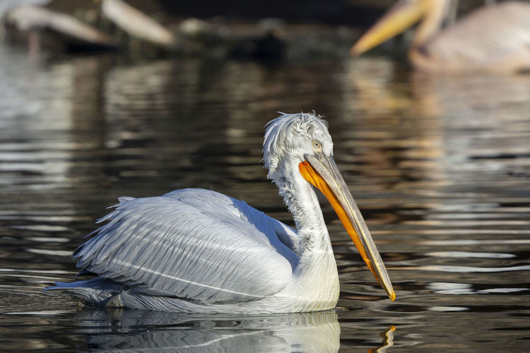 Dalmatian pelican / Pelecanus crispus [Canon EF 400mm f/4 DO IS II USM] Animal Themes Animal Animal Wildlife Bird Animals In The Wild Water Vertebrate One Animal Lake Focus On Foreground Water Bird No People Pelican Day Beak Nature Waterfront Reflection Animal Neck Dalmatian Pelican