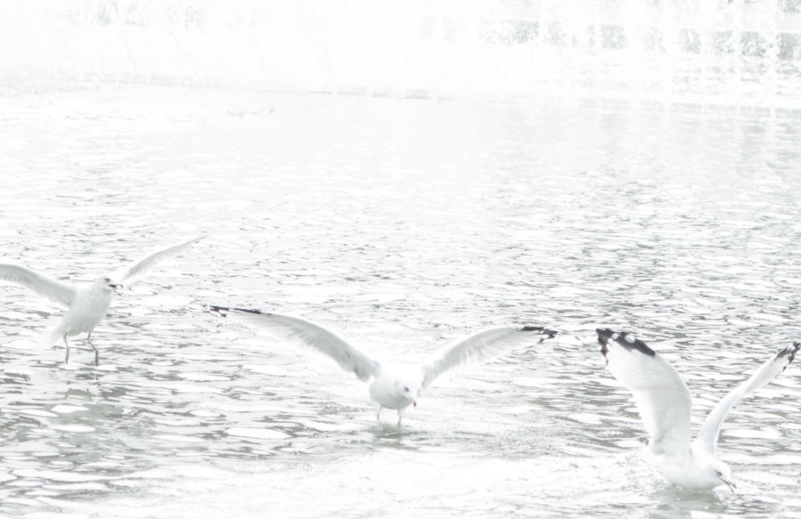 Seagulls at a city fountain. Soft focus and light. Animal Themes Animals In The Wild Beauty In Nature Bird Bird Wings City Day Flight Fountain Nature Rippled Ripples Seagull Seagulls Silver  Softness Sparkling Tranquility Urban Water White White Color Wildlife Wings