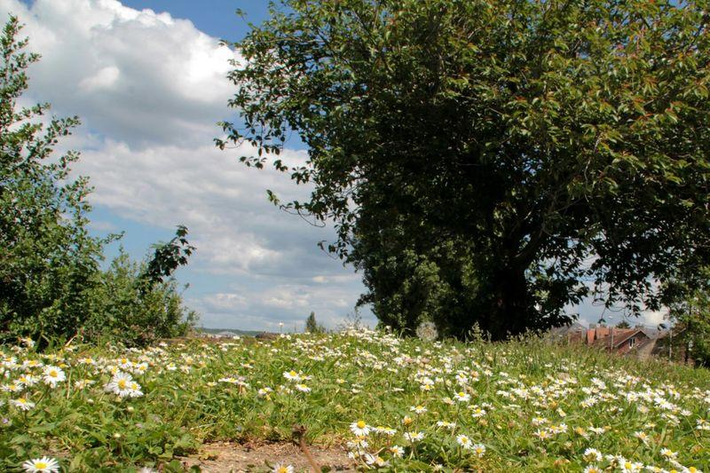 bucolique Fleur Paquerettes Pelouse Arbre
